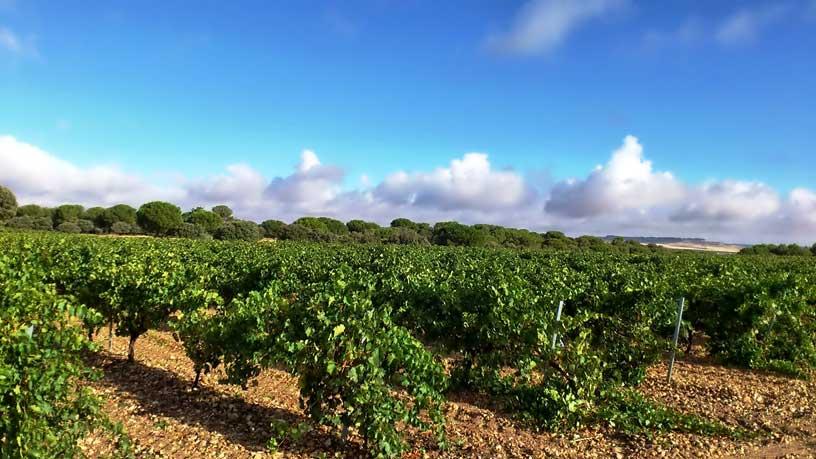 Viñas de la variedad Verdejo
